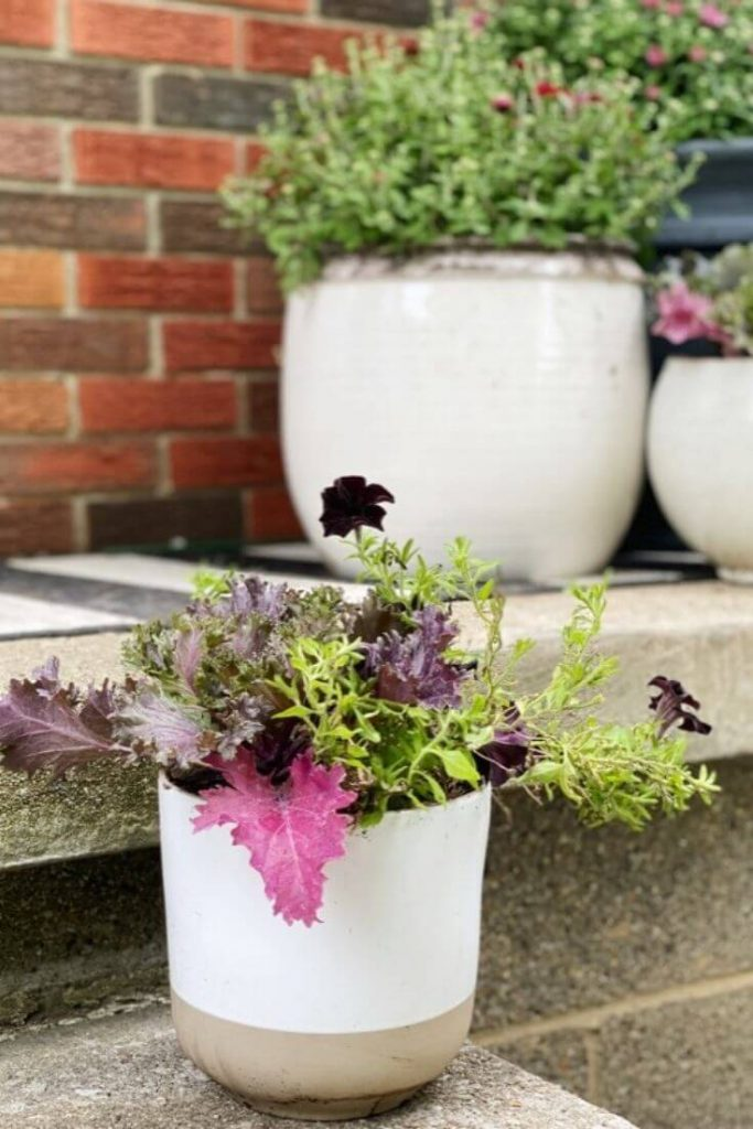 Close up of white planter with kale and black mamba petunias on porch step with potted mums in background