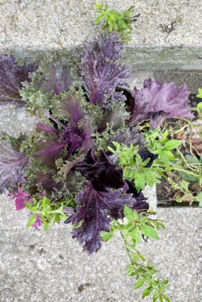 Top view of kale mixed with black mamba petunias on concrete step