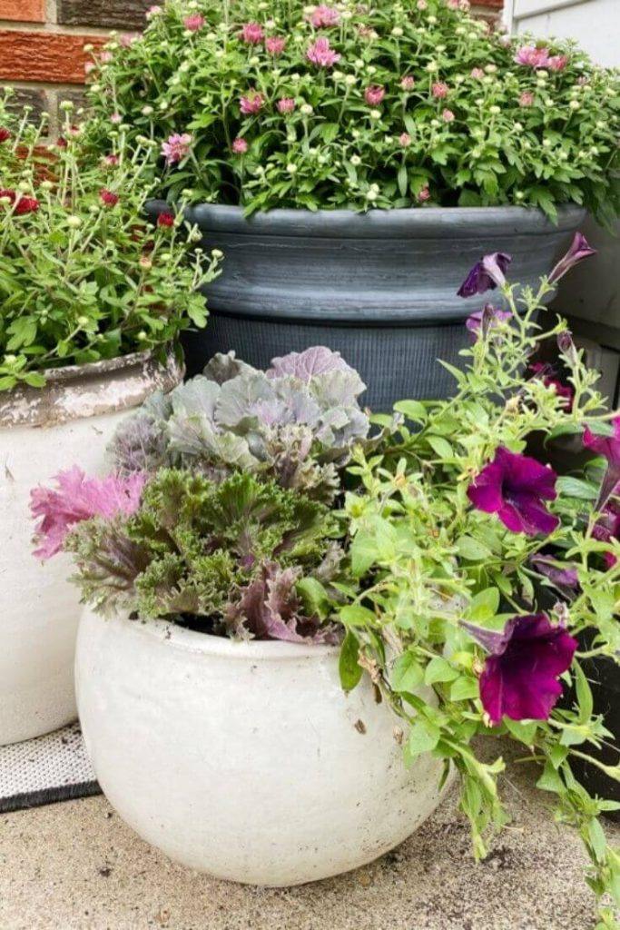 Close up of white pot with Burgundy petunias, cabbage, and kale with potted mums behind