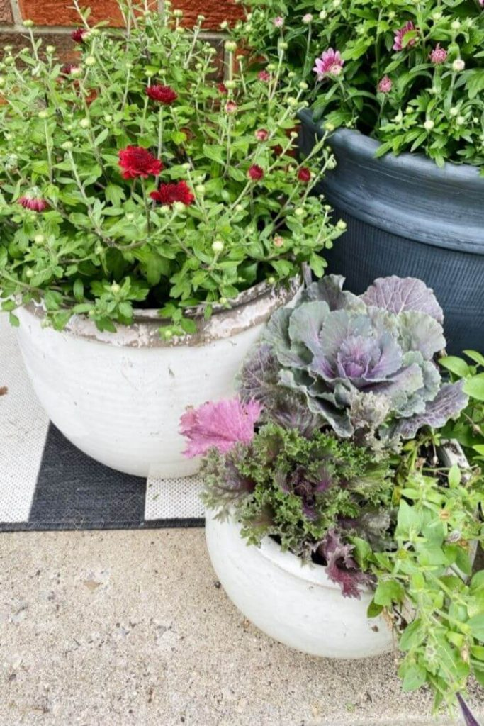 Mums and ornamental cabbage and kale in pots