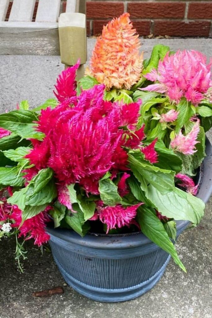 Ice cream variety celosia in brushed slate planter