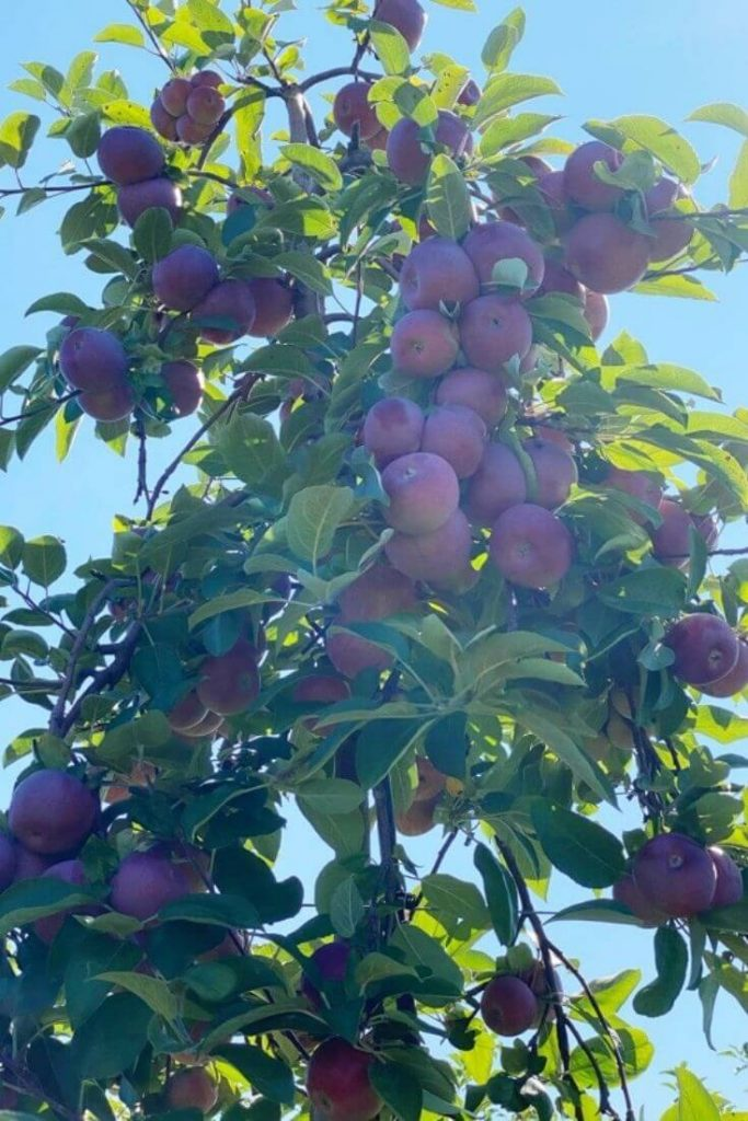Red apples hanging on an apple tree